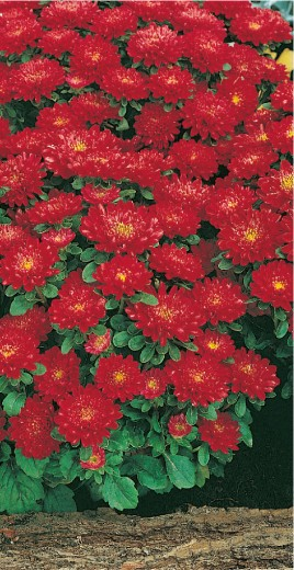 Striped dwarf scarlet red