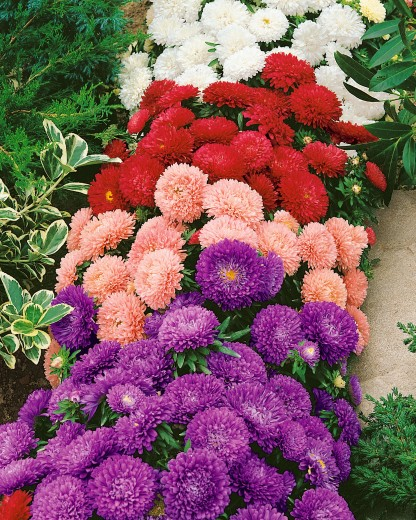 Astra chrysanthemum low -